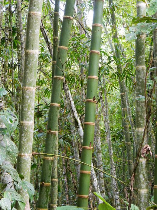 Unterwegs immer wieder exotische Bambuskulturen, San Augustín, Kolumbien (Foto Jörg Schwarz)