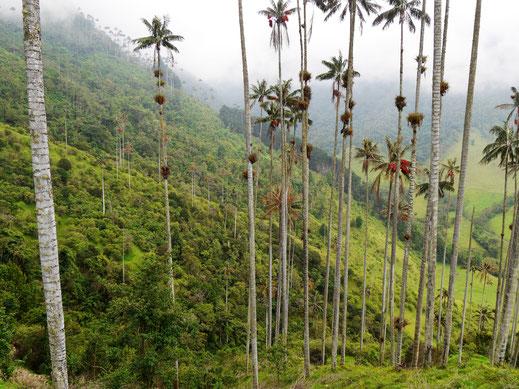 Gut 60 m hoch wachsen sie hier: Die Wachspalmen des Cocora Valley, Salento, Kolumbien (Foto Jörg Schwarz)