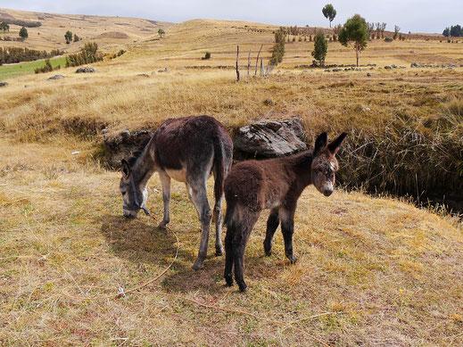 Selbst die Esel sind sympathisch! Bei Uchkus Incañan, Peru (Foto Jörg Schwarz)