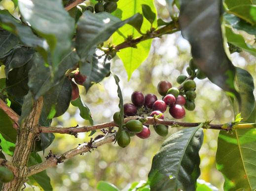 Auch Kaffeepflanzen hat die Region in petto, San Augustín, Kolumbien (Foto Jörg Schwarz)