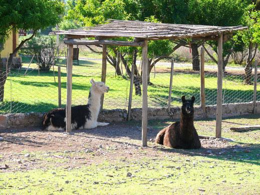 Ungewohnte Haustiere: Lamas sind in Tafi del Valle unsere Nachbarn (Foto Jörg Schwarz)