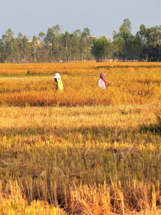 Wenn die Sonne die reifen oder abgeernteten Reisfelder golden färbt, bei Takeo, Kambodscha (Foto Jörg Schwarz)