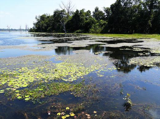 Heute mehr Biotop als Tempel, Neak Pean, Kambodscha (Foto Jörg Schwarz)