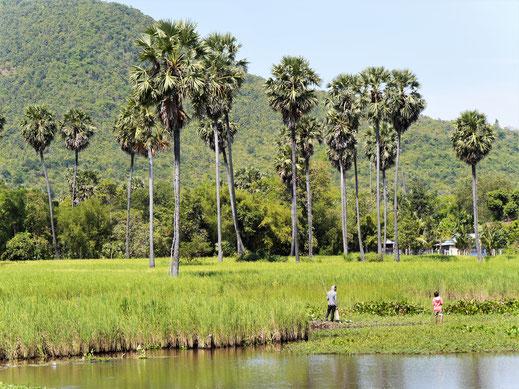 Die Landschaft ist atemberaubend - überall schon hier zu sehen: Palmyrapalmen! Kompong Chhnang, Kambodscha (Foto Jörg Schwarz)