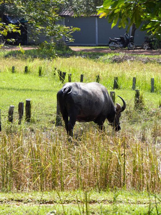 Wasserbüffel gehören hier als Lasten- und Pflugtiere noch zum Lebensalltag der Menschen, bei Siem Reap, Kambodscha (Foto Jörg Schwarz)