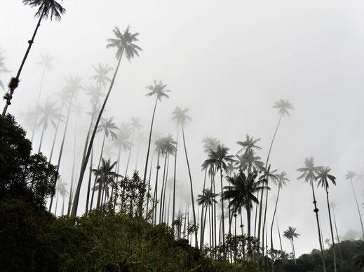 Monochrom: 60 m hohe Wachspalmen ragen in die tief hängenden Wolken... Valle de Corora, Kolumbien (Foto Jörg Schwarz)