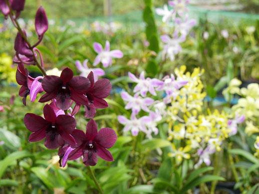 Elke zeigt uns zudem sagenhaft schöne Orchideen, Langkawi, Malaysia (Foto Jörg Schwarz)