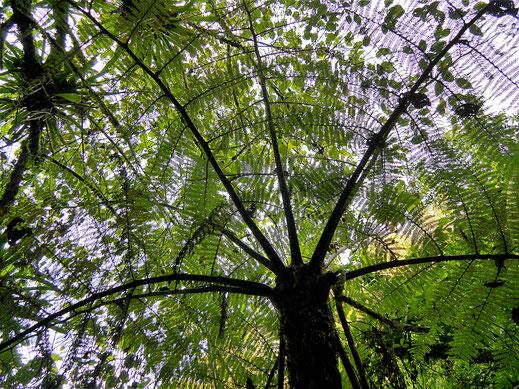 Irgendwann verdeckt das Dschungeldach den Himmel... Salento, Kolumbien (Foto Jörg Schwarz)