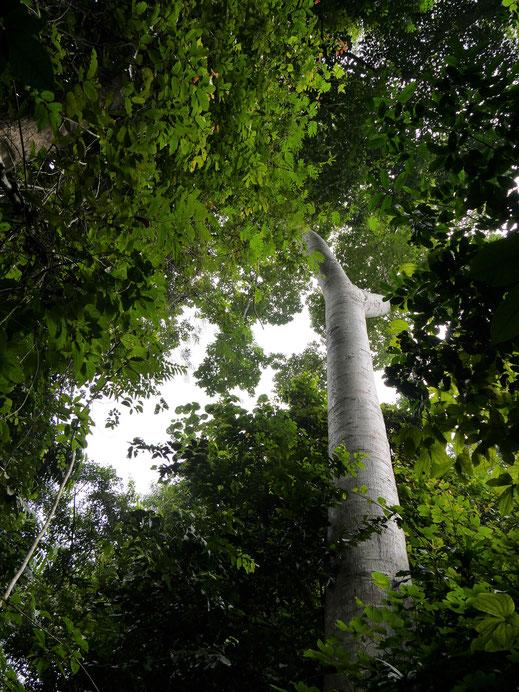 Das ist ein Regenwald! Taman Negara Nationalpark, Malaysia (Foto Jörg Schwarz)