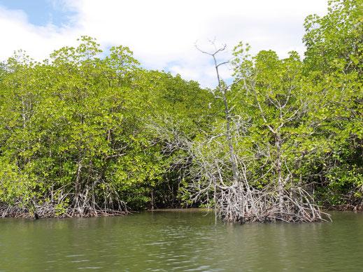 Mangroven sind ein unschätzbarer Lebensraum für zahlreiche Küstentiere, bei Koh Kong, Kambodscha (Foto Jörg Schwarz)
