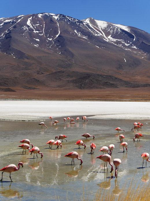 Ein ähnliches Bild an der wundervollen Laguna Hedionda, Reserva de Fauna Andina, Bolivien (Foto Jörg Schwarz)