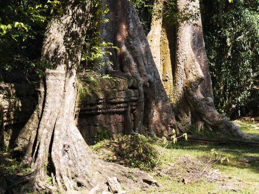 Als die Anlage entdeckt wurde, muss sie geradezu verwunschen gewirkt haben, Ta Prohm, Kambodscha  (Foto Jörg Schwarz)