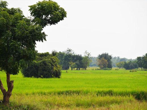 Fabelhafte Aussichten, wenn man mit dem Bambuszug durch die Reisfelder rast... Bei Battambang, Kambodscha (Foto Jörg Schwarz)