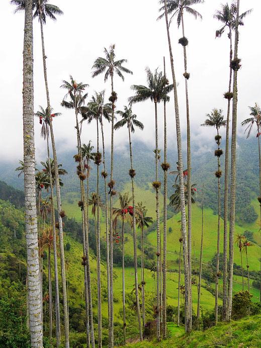 Ab und an geben die Wolken auch das Tal wieder frei... Valle de Cocora, Kolumbien (Foto Jörg Schwarz)