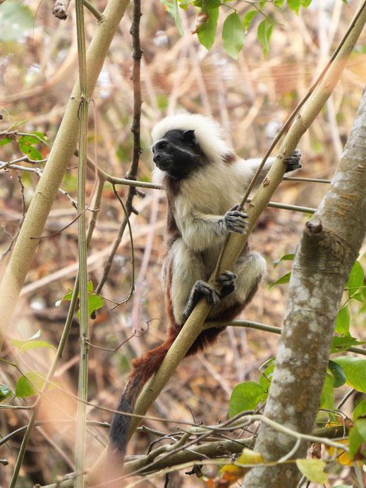 Wir haben Glück, dass sie sich uns zeigen: Mico Titi Affen in freier Wildbahn, Tayrona Nationalpark, Kolumbien (Foto Jörg Schwarz)