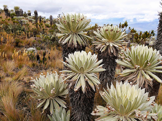 Frailejones - die typische Vegetationsform im paramó, Monguí, Kolumbien (Foto Jörg Schwarz)