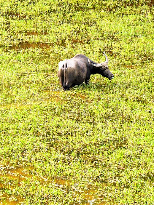 Was früher normal war in Asien und heute selten ist: Wasserbüffel, Langkawi, Malaysia (Foto Jörg Schwarz)