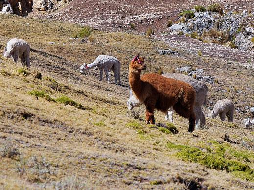 Auch in der Hochebene: Nur Lamas und Alpacas - von Guanacos oder Vicunas keine Spur, Huancavelica, Peru (Foto Jörg Schwarz)