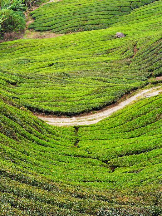 Tee soweit das Auge reicht... Cameron Highlands, Malaysia (Foto Jörg Schwarz)