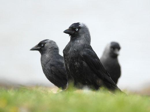 Dohlen - Vogel des Jahres 2012. Foto: Christian Falk