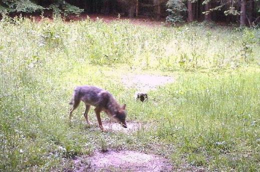 Fotonachweis des Wolfs im westlichen Landkreis Eichstätt vom 19.6.2020, aufgenommen mit einer Wildkamera
