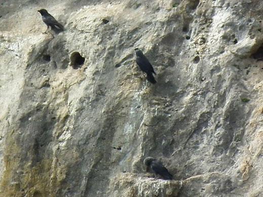 Dohlen nisten in Felshöhlen bei Hagenacker. Foto: Dieter David