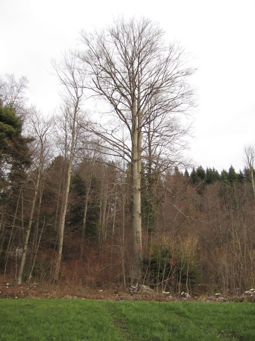 Fagus sylvatica Rotbuche