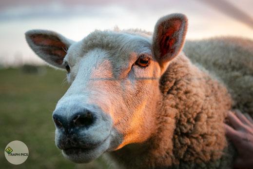 Neuseeland Schafe4