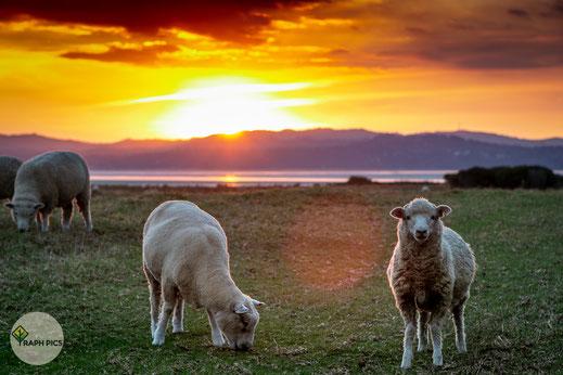RaphPics Schafe Neuseeland