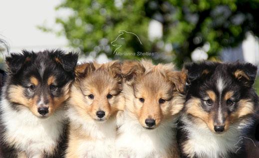 Willy, Tine, Carlo, Koa - 8 Wochen alt
