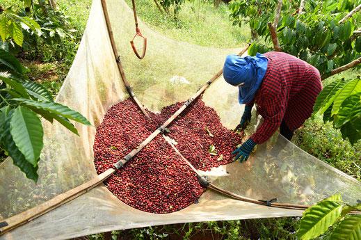 Rohkirschen bei der Kaffee-Ernte