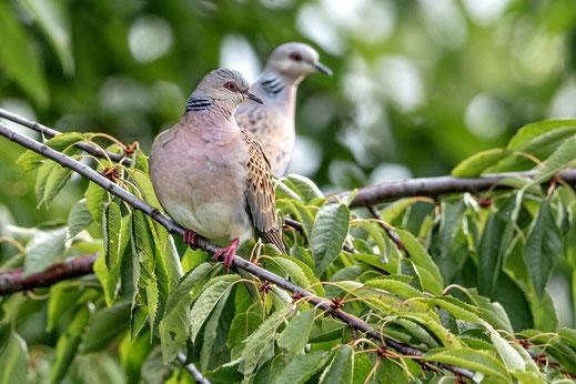 Vogel des Jahres 2020: die Turteltaube. Foto: Gunther Zieger