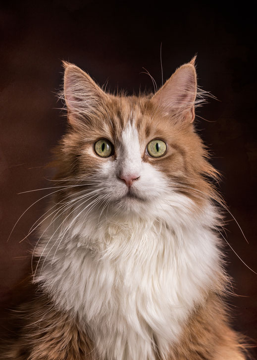 Epische Katzenportraits selbst fotografieren mit Maine Coon Kater Jogy von Tobias Gawrisch (Xplor Creativity)