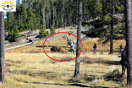 Im Yellowstone Nationalpark in den USA hält ein Mann kaum Abstand zu einem ausgewachsenen Büffel.