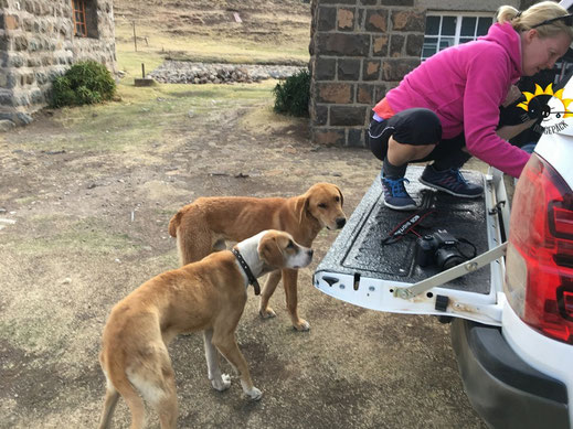 Ausgemergelte Hunde der Lodge. Wir versorgen sie mit unseren letzten Wurstscheiben.