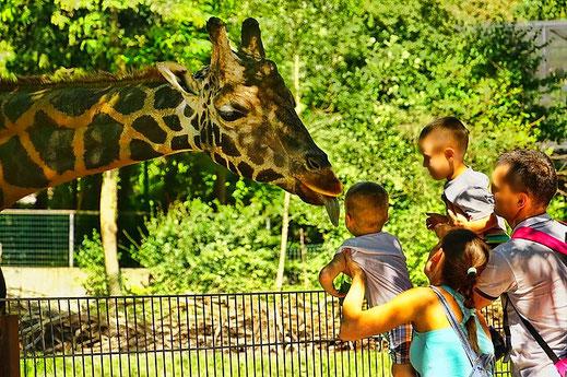 Falsches Familien-Idyll im Zoo: Giraffen zum Anfassen.