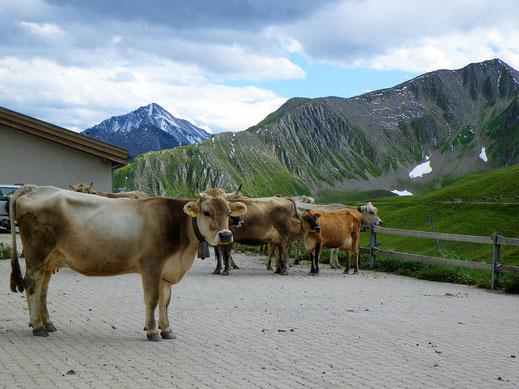 Die Milchlieferanten - Kühe - für den Samnauner Käse auf der Alp Bella.