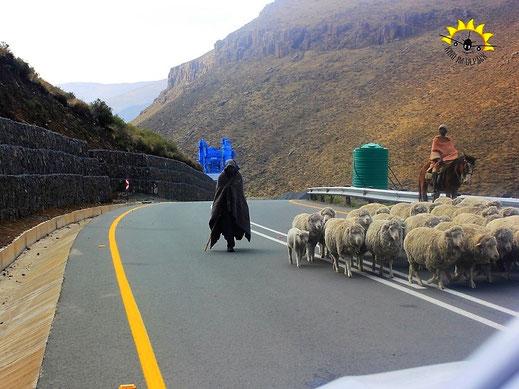 Hirten samt Schafe ziehen auf den Straßen Lesothos entlang.