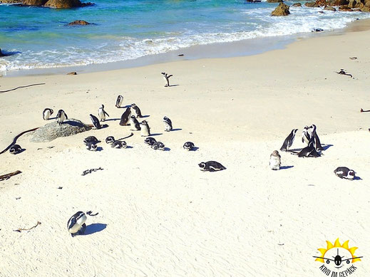 Afrikanische Pinguine in SImon´s Town am Boulder´s Beach.