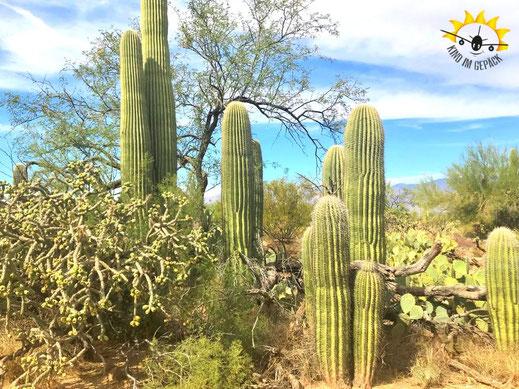 Saguaros säumen das Landschaftsbild rund um Tucson.