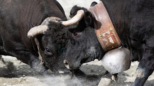 Deux vaches de la races Hérens au combat en gros plan