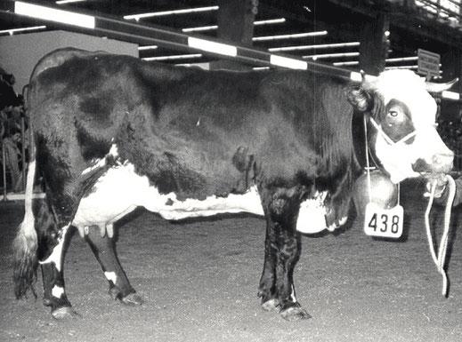 Lisette, née en 1975 est la première Abondance à avoir atteint 100 000 kg de lait. Propriétaire ; TREBBOUX Pascal (Vinzier 74)