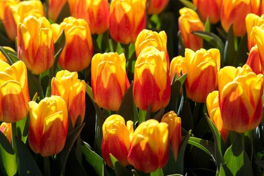 tulpen rot gelb orange keukenhof virginie varon