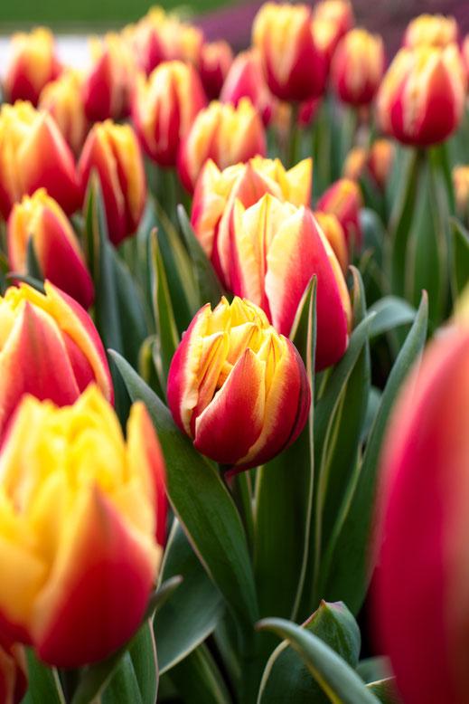 Tulpen rot gelb Tulip Keukenhof Holland Virginie Varon