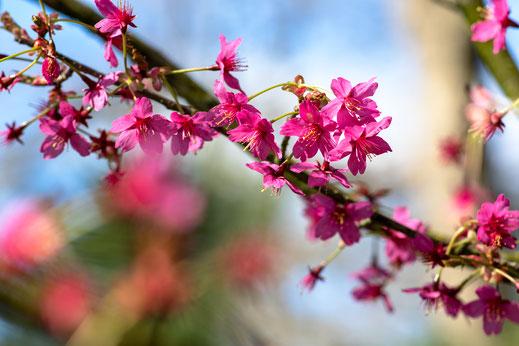 Baum Blüte rosa rot Keukenhof Virginie Varon