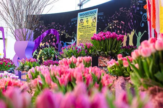 Tulpen Woodstock Keukenhof Holland Virginie Varon