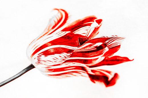 zeichnung tulpe kunst keukenhof Virginie varon