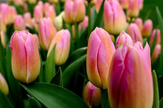 Tulpen rosa Tulip Keukenhof Holland Virginie Varon