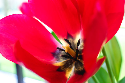Tulpen rot macro Tulip Keukenhof Holland Virginie Varon