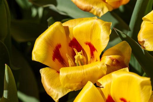 tulpen gelb keukenhof virginie varon